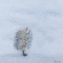 """A """"Tree"""" (Masako Metz) Tags: seaweed beach sand tree like look oregon coast pacific northwest usa"""