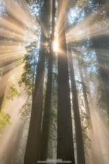 Light Burst (michael ryan photography) Tags: redwoods redwoodnationalpark delnortecoastredwoodsstatepark light beams fog mist california northerncalifornia crescentcity rays forest trees