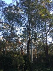 IMG_4878 (dudegeoff) Tags: 20180623bsydednahuntsanctuary ednahuntsanctuary eastwood nsw newsouthwales australia 2018 june winter bikerides trees 20180623csydednahuntsanctuary