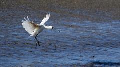 Spoonbill (DanD_NZ) Tags: birds raglan newzealand nikond500 nikkor200500mmf56 spoonbill bif