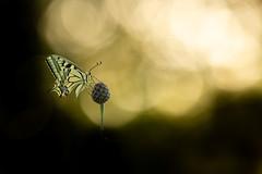 Vers la lumière. (schwartzdavid57) Tags: 2018 pentax macro papillon butterfly machaon flare proxy 300mm
