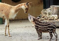 South american tapir and Vicuna   Artis JN6A0868 (j.a.kok) Tags: vicuna tapir zuidamerika zuidamerikaansetapir southamerica southamericantapir animal artis zoogdier dier mammal baby babytapir