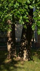 (abstraordinary) Tags: тени тень жесткиетени дерево утро природа morning mobilephotography мобильнаяфотография tree nature shadowlovers shadowporn shadows shadow