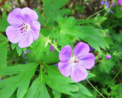 """Pretty Purple Geraniums"" by My Lovely Wife (Puzzler4879) Tags: flower flowers geraniums purple palepurple geraniumflowers flowercloseups flowerscloseup flowermacro flowersandfoliage bayardcuttingarboretum bayardcuttingarboretumstatepark newyorkstateparks stateparks publicparks a580 canona580 powershota580 canonpowershota580 powershot canonaseries canonphotography canonpointandshoot pointandshoot"