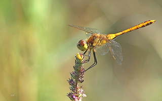 Sympétrum rubigineux (F) / Saffron-winged Meadowhawk (F)