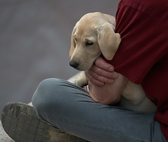 Lovingly Held (Scott 97006) Tags: dog canine animal pup puppy guy man holding cute