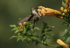 Get A Grip (Diane Marshman) Tags: rubythroated hummingbird small bird red throat green head back dark wings white feathers long black beak summer nature wildlife pa pennsylvania juvie juvenile young baby immature large yellow trumpet vine flower blossom bloom blooming bush shrub leaves action motion