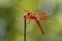 2018 06 13_Flame Skimmer-1 (Jonnersace) Tags: america invertebrates flameskimmer insect dragonfly libellulasaturata texas wild red bokeh wings abdomen canon canon7dii canon100400ii