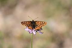 Nymphalidae (esta_ahi) Tags: santmagídelabrufaganya lepidoptera insectos fauna mariposa papallona butterfly nymphalidae santmagídebrufaganya pontils concadebarberà tarragona spain españa испания