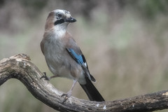 Jay - HBN-hut 7 - Lemelerberg - The Netherlands (wietsej) Tags: jay hbnhut 7 lemelerberg the netherlands sony rx10iv rx10m4 bird nature gaai rx10 iv