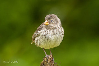 Small Ground Finch D85_1355.jpg