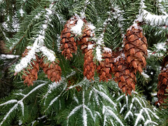 Snow on Pinecones (Emily Miller fine art) Tags: snow winter pinecone tree