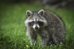 Backyard Bandit (rich0234) Tags: nature raccoon