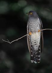 common cuckoo (معضاد) Tags: common cuckoo bords qatar qatari lesnafi حميمية طيور قطر ام الحمام كوكو الطائر الشرير luqh