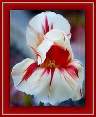 DSC00302  Tulip (Martina Morris ( Ireland) Thanks for your visit) Tags: flowerscloseup flower tulips tulip nature macro yellow red raindrops blue garden green pink purple white outdoors mygarden