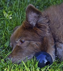 A Little Nostalgia! (Happy Autumnal Equinox!!!) Tags: ddc sentimental lookingnostalgic lostinthought 2466 shizandra dog female bordercolliemix kong ball black large rubber grass