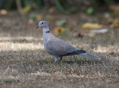 Collard Dove LB Garden-2216 (seandarcy2) Tags: dove collard garden beds uk birds wildlife