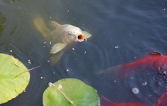 White Koi in the Pond! (ineedathis, Everyday I get up, it's a great day!) Tags: butterflywingkoi goldfish whitetailgoldfish waterlily lily watergarden lilypads reflection pond flower exotic tropical beauty nymphaea νυμφαια νουφαρο garden nature koi fish summer white gold nikond750 fishfood pellets pineneedles