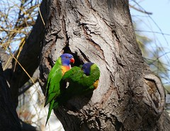 Sharing a home... (The Pocket Rocket, On and Off.) Tags: rainbowlorikeets trichoglossusmoluccanus bluelake oceangrove victoria australia