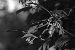 Unknown Native (macromary) Tags: leicaflexsl leica leitz leicaflex slr primelens vintage camera manual film bw blackandwhite florida nature rodinal macro 60mm elmarit monotone palmbeachcounty naturepreserve kentmere kentmerefilm kentmere100 60mmelmarit macrolens johnprincememorialpark bokeh naturetrail standdeveloping