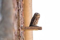 Steinkauz/ Little Owl (janniskrause) Tags: steinkauz eule owl little athene noctua