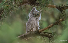 Eastern Screech Owlet (salmoteb@rogers.com) Tags: bird wild outdoor animal wildlife american eastern screech owlet canada ontario tree perch park