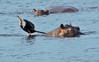 Hippo and Visitor (Hippopotamus amphibius)