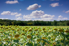 Tristes tournesols (comten01) Tags: sunflowers field sky flowers farming cultivation nikon agriculture seeds
