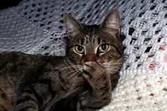 Juno (pmvarsa) Tags: autumn 2000 analog film 135 kodak kodakroyalgold royalgold 400iso nikonsupercoolscan9000ed nikon coolscan cans2s canon ftb canonftb classic camera cat portrait grooming cleaning ontario canada