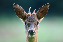 AA103 (AN AER Pictures) Tags: nature chevreuil brocard deer roe wildlife wild photography canon sigma