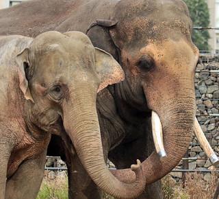 asiatic elephant Nicolai and Thong Tai artis JN6A0535