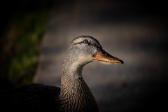 IMG_1206 (d_propp) Tags: lakebeaumaris waterfowl august goldenhour light lightroomcc mallard