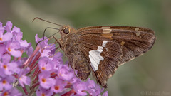 Silver-spotted Skipper (Epargyreus clarus) (ER Post) Tags: insect silverspottedskipperepargyreusclarus skipper
