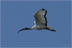 Ibis sacro ( Sacred ibis) (Artemio Terna) Tags: ibis sacro sacre wild wildlife terna artemio wilderness