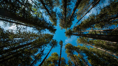 Looking up, Banff National Park, Canada (throzen) Tags: canon 70d eos efs 1018 banff national park landscape outside outdoors scenic scenery blue nature beauty beautiful wood forest sky green tree alpine canada