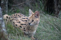 Sly Looking Serval (zenseas) Tags: africa eating workingholiday leptailurusserval rescued workingvacation westerncape sanctuary serval southafrica plettenbergbay vacation volunteer holiday tenikwa