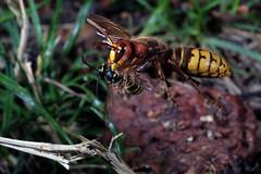 Hornisse mit Wespe (JS Highspeed Photography) Tags: highspeed kurzzeit pqs fuji xe2 makro macro insect insekt flugaufnahme flug flight fly hornisse wespe