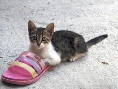 Kitten (unHombre) Tags: worldcatday cat catkin kitten kedi yavru pet street katze animal haustier olympus omd em5 yavrukedi kediyavrusu kätzchen