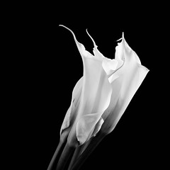 textures of nature (larry wfu) Tags: flower calla lily blackandwhite