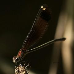 Calopteryx haemorrhoidalis.  Caballito del diablo de la familia Calopterygidae, se los conoce con los nombres comunes de Copper demoiselle y también por Mediterranean demoiselle. (EMferrer) Tags: insecto wildlife libelula odonata libellulidae arthropod nature macroinsect fotomacro naturaleza hexapoda macrodragonfly macrophotography vidanatural macrolibelula calopterygidae calopteryx anisoptera insecta bestdragonfly copperdemoiselle calopteryxhaemorrhoidalis caballitodiablo macrofoto mediterraneandemoiselle arthropoda dragonfly odonato
