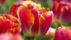 Descargar Fondos de pantallas Tulipas gratis (descargarfondosdepantalla) Tags: fondos de pantallas tulipas