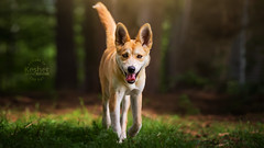Picture of the Day (Keshet Kennels & Rescue) Tags: rescue kennel kennels adoption dog ottawa ontario canada keshet large breed dogs animal animals pet pets field tree forest nature photography lab husky shepherd mix fox foxy grass woods trot walk tongue out puppy little young