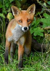 Young Fox (George Findlay) Tags: fox cub ayrshire nikon