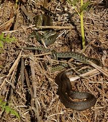 3 Female Adders (farrertracy) Tags: adder moorland viperaberus gravid brown green summer