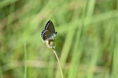 Lycaenidae (esta_ahi) Tags: santmagídelabrufaganya santmagídebrufaganya pontils concadebarberà tarragona spain españa испания lepidoptera insectos fauna mariposa papallona butterfly lycaenidae