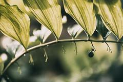 l_l_l (_elusive_mind_) Tags: plants pflanzen green grün stilleben salomonssiegel