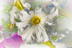 Petunia (Ken Mickel) Tags: beautiful dewdrop dewdrops floral flower flowers kenmickelphotography natural petunia plants waterdrop waterdrops blossom blossoms botanical closeup flora garden gardens nature upclose