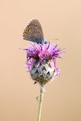 Bläuling auf Blüte (Marcus Hellwig) Tags: blüte bläuling farfalla schmetterling mariposa macro makro natur nature lycaenidae