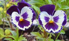 6418e windowbox pansies (jjjj56cp) Tags: pansies flowers blossoms blooms faces purple white yellow closeup details macro glenwoodgardens cincinnati oh ohio p900 jennypansing