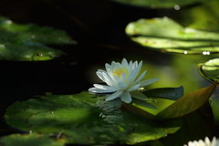 White Water Lily II (ftherit) Tags: white water lily pond flower nature canon 1dx ii 600mm
